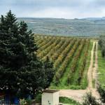 Vineyards at Cefalicchio