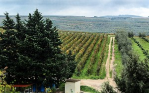 Vineyards at Cefalicchio